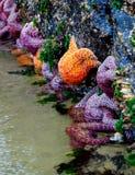 Sea Stars in Tide Pools at Cannon Beach Oregon stock photos