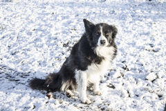 Ever the poser. My beautiful Collie dog posing in the snow on a sunny winters day in Ireland Stock Photos