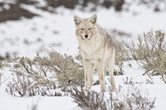 Ever Watchful. Coyote in snow and sagebrush watches photographer royalty free stock photos