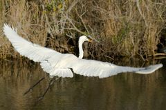 Bird flying in Everglades Stock Photo