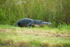 Everglades Alligator. A big alligator in the Florida Everglades Royalty Free Stock Image