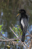 Everglades Anhinga on Perch. The anhinga's blue-green eyes and yellow beak contrast with it's black and white feathers. The anhinga is a member of the darter royalty free stock image