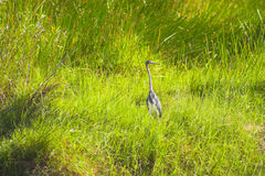 Everglades bird Royalty Free Stock Image