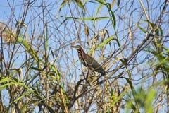 Everglades bird Stock Image