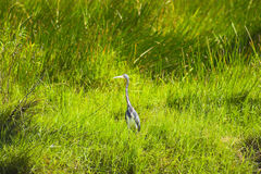Everglades bird Stock Images