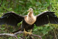 Bird in Everglades. Portrait of bird with spread wings in Everglades, Florida, U.S.A Stock Photography