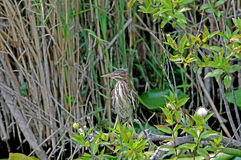 Everglades Bittern. Bird stands amid green shrubbery stock images