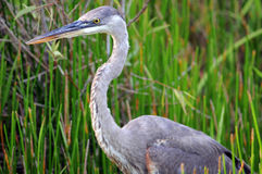 Everglades Blue Heron close. Blue Heron in Everglades against green grasses royalty free stock image