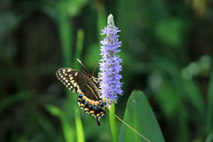 Everglades butterfly on flower Royalty Free Stock Image