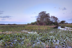 Everglades at dawn Stock Images