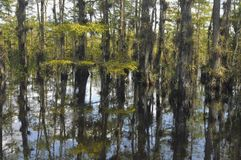 Everglades Ecosystem. Manglers at the Everglades National Reserve stock photo