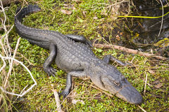 Everglades Gator. American Alligator in the Everglades National Park stock photo