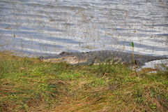 Everglades Gator Royalty Free Stock Photography