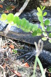 Everglades gator hand next to head. Alligator clawed webbed front foot next to its head while resting next to shore. anhinga trail in the florida everglades Royalty Free Stock Photos