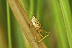 Everglades Grasshopper Royalty Free Stock Photo