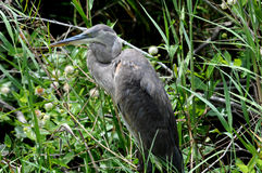 Everglades Great Blue Heron. Great Blue Heron against green backdrop with wildflowers stock image