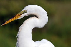 Everglades Great White Heron. White Heron wading bird poses for portrait stock photography