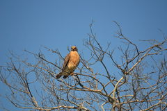 Everglades Hawk sitting in a tree Royalty Free Stock Photography