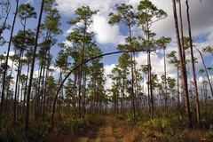 Everglades Hiking. A hiking trail traverses pinelands in Long Pine Key, Everglades National Park Royalty Free Stock Photography