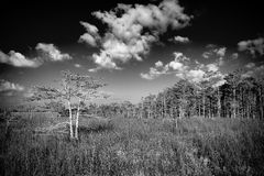 Everglades Landscape - B/W Stock Image