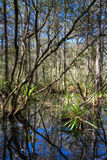 Everglades Landscape reflecting in a swamp Royalty Free Stock Photography