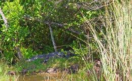 everglades images stock