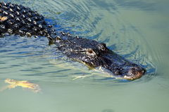 Everglades N.P. - An alligator Stock Images