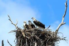 Everglades N P - De overzeese adelaar Stock Foto