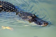 Everglades N P - Een alligator Stock Afbeeldingen