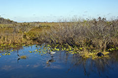 Everglades Natinal park in the early morning Royalty Free Stock Photography