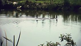 Everglades national park 1979. Alligator swimming in the Everglades National Park in Florida. Historical United States of America in 1979 stock footage
