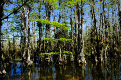 Everglades National Park. Cypress trees in the Everglades national park stock photos