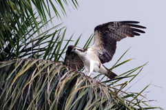 Everglades Osprey. Osprey atop palm tree spreads its wings royalty free stock photos