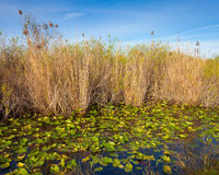 Everglades Pond. Lilies and reeds in the Everglades, Florida Stock Photos