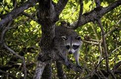 Everglades Racoon 2 στοκ φωτογραφία με δικαίωμα ελεύθερης χρήσης