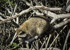 Everglades Racoon 1 Stock Images