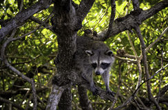 Everglades Racoon 2. Racoon Found In the Florida Everglades royalty free stock photography