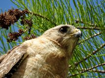 Pale form red shoulder Everglades hawk Royalty Free Stock Images