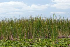 Everglades Reeds. Green reeds in the Florida Everglades, with a partly cloudy blue sky background Stock Photo