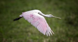 Everglades Roseate Spoonbill Royalty Free Stock Images