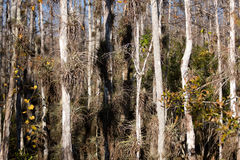 Everglades trees Royalty Free Stock Photo