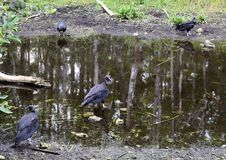 Everglades vultures resting at water hole royalty free stock image