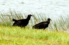 Everglades Vultures. Two Everglade Vultures stroll in grass along water's edge royalty free stock photography