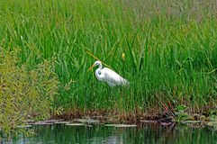 Everglades White Heron. White Heron wading bird by Saw Grass and water royalty free stock images