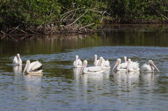 Everglades White Pelican. Flock of White Pelicans swim calmly in blue water royalty free stock images