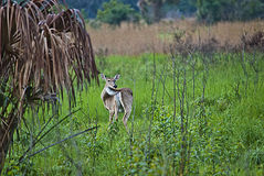 Everglades White Tailed Deer Royalty Free Stock Image