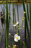 Everglades wildflower Sagittaria. White Sagittaria wildflower against green stalks and water stock photography