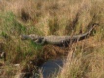 Evergladesalligator Arkivfoto