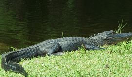 Evergladeskrokodil Royaltyfria Foton