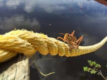 Evergladeslubber Stock Afbeeldingen